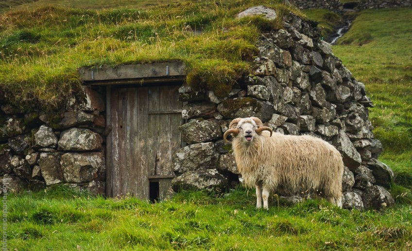 Hello from a Faroese ram